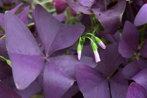 三角紫叶酢浆草