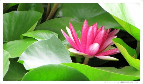 水莲花的介绍与生态习性