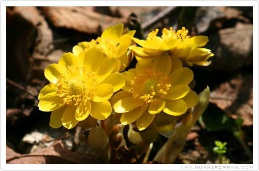 侧金盏花种植养护方法