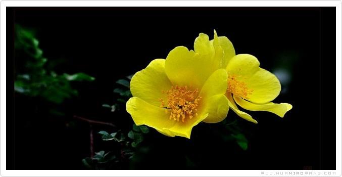 单瓣黄刺玫养护方法