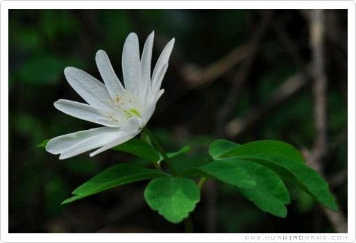 多被银莲花 (Anemone raddeana Regel)
