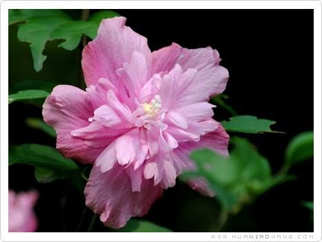 粉紫重瓣木槿养殖方法