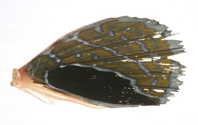 红娘鱼的翅膀特写