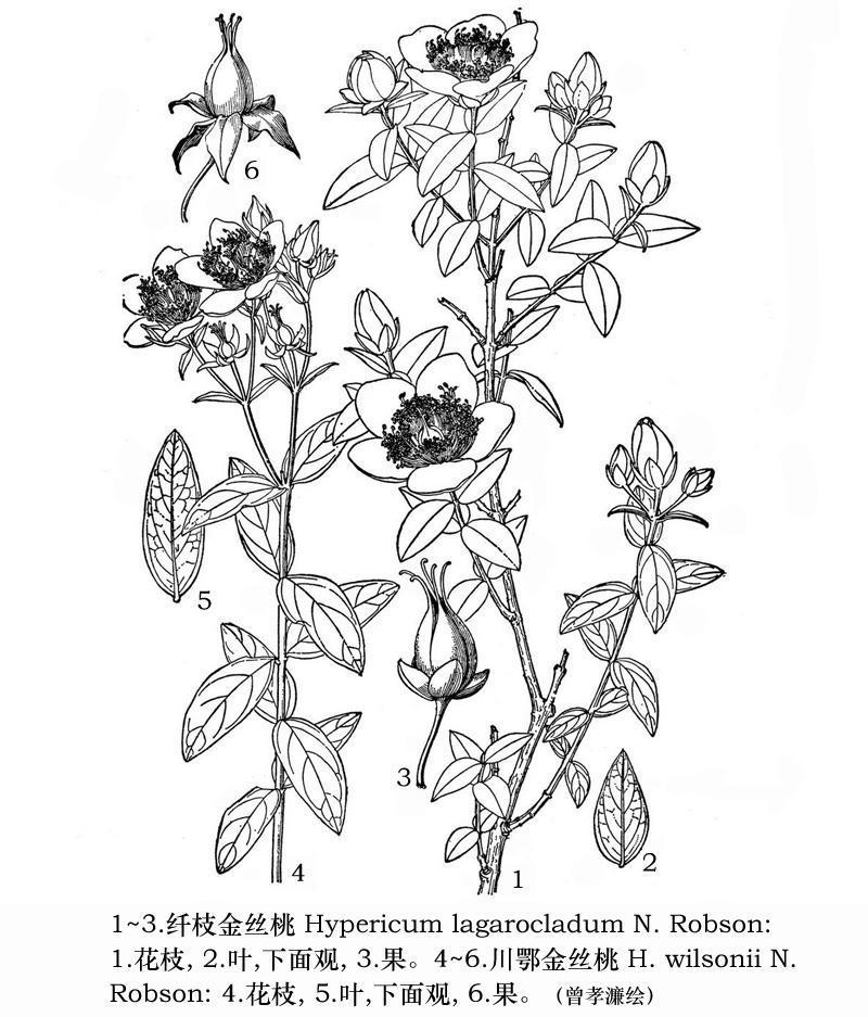 川鄂金丝桃